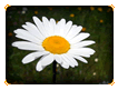 Summer Daisy Online Jigsaw Puzzle for Kids
